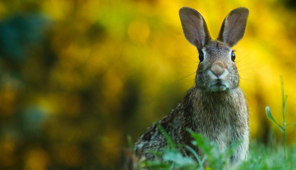 Kanin på fält