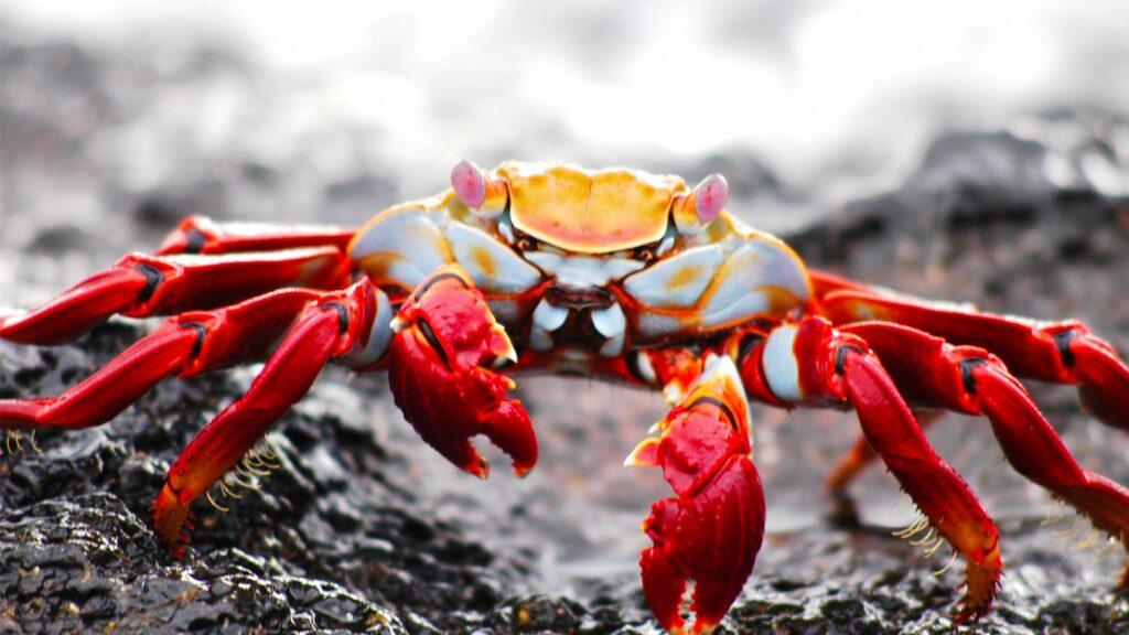 Krabba på strand