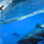 Haj under vågsurfare