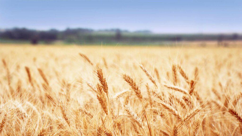Kornfält som för tankarna till Östergötland.