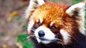 Söt röd panda (engelska Firefox)