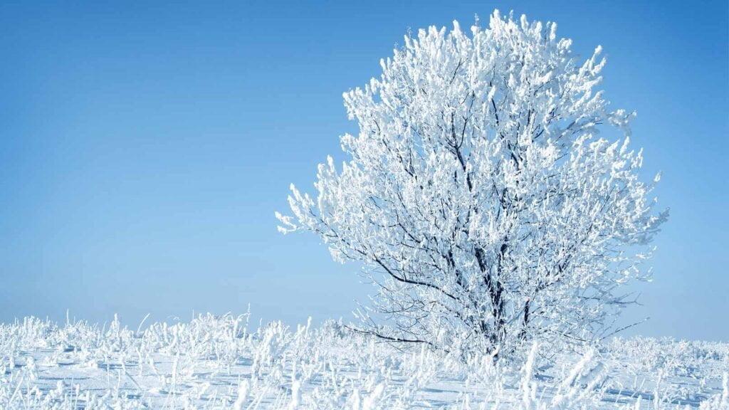 Träd i vinterskrud
