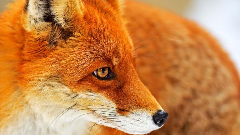 Porträttbild på räv