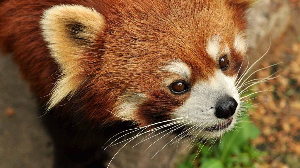 "Röd panda (""Firefox"") i skogsmiljö."